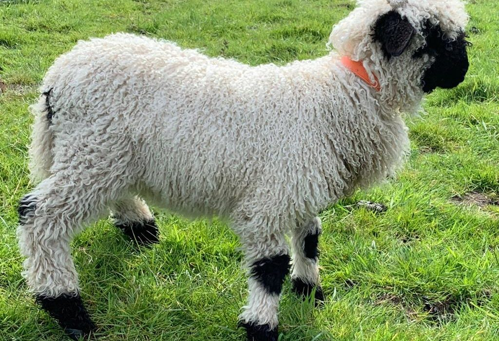 Mark Zuckerberg really wants Valais Blacknose sheep but he can't get it