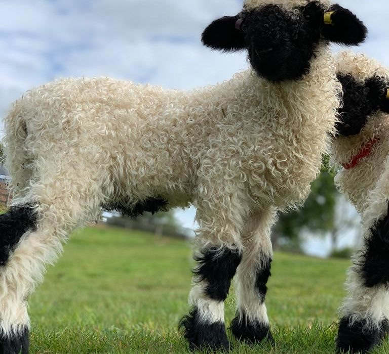 The cutest sheep in the world to compete in Borderway Mart show
