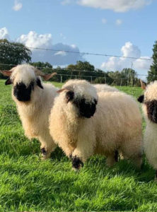 Valais Blacknose Ewes For Sale. Pure Swiss with great breeding from Westmorland Elvis who's father is Prenwick Eros and is a fantastic Ram.