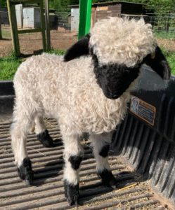 Valais Blacknose Ram Lamb Gino now has a deposit on him, good patches and great black mask. Bred off top show lines and Grassroots registered, ready to go in 8 weeks, offers invited
