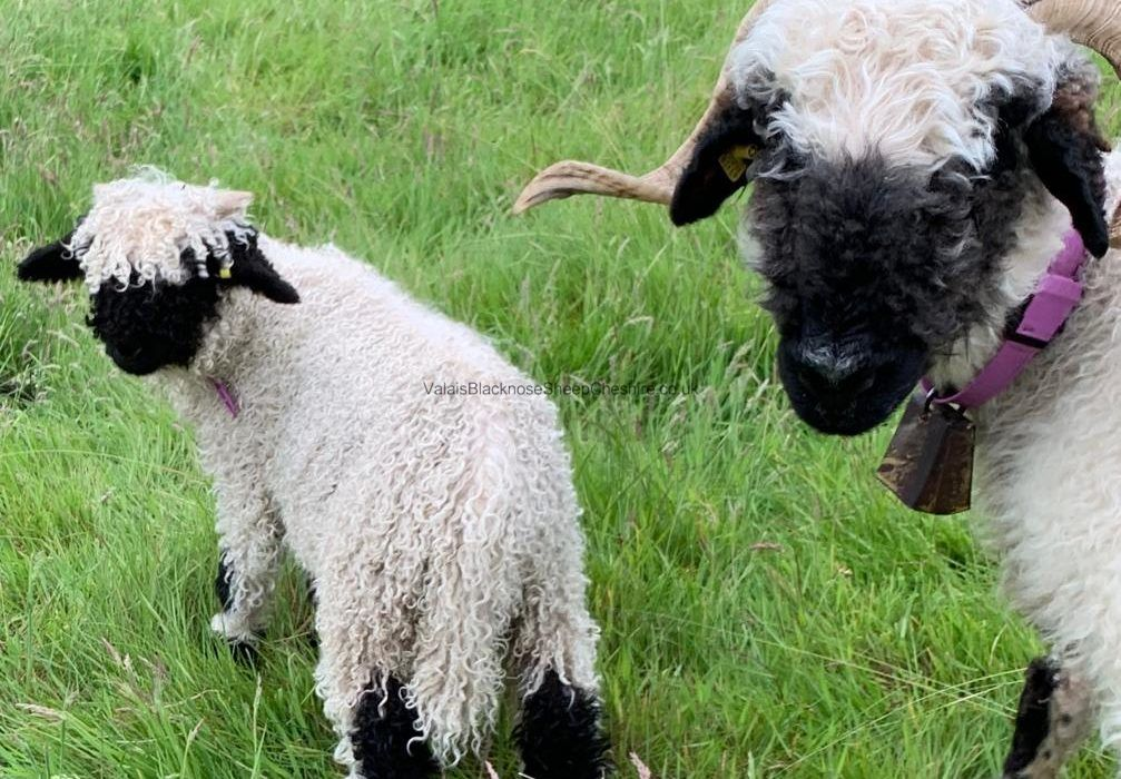 """World's cutest sheep"" go on show in Carlisle"