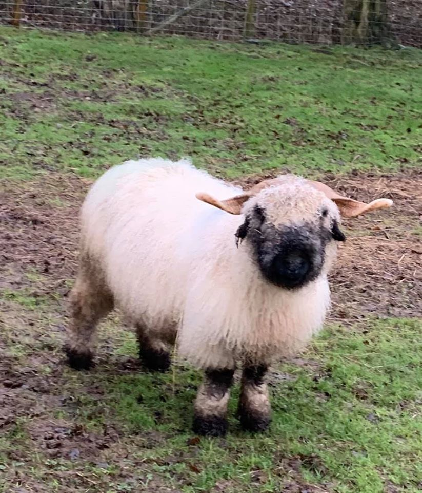 I have a 4 year old perfectly marked type 3 Valais Black Nose Ewe Dior
