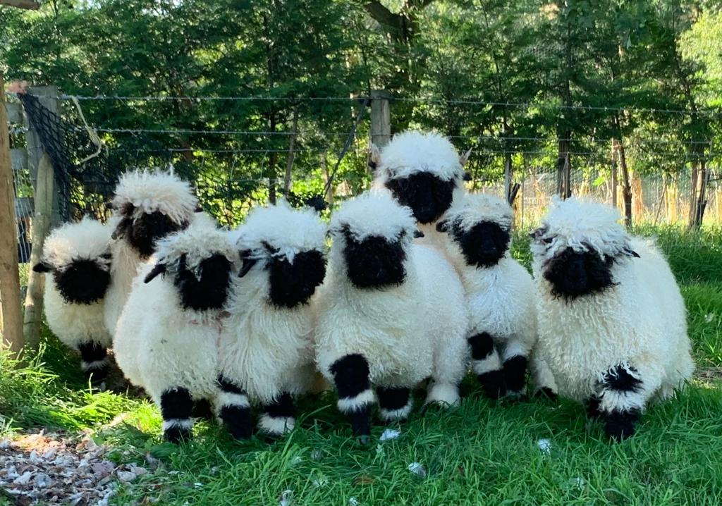 VALAIS BLACKNOSE SHEEP FOR SALE CHESHIRE