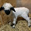 Pure breed Valais Blacknose Wether Lamb who is 2 weeks old looking for a new home