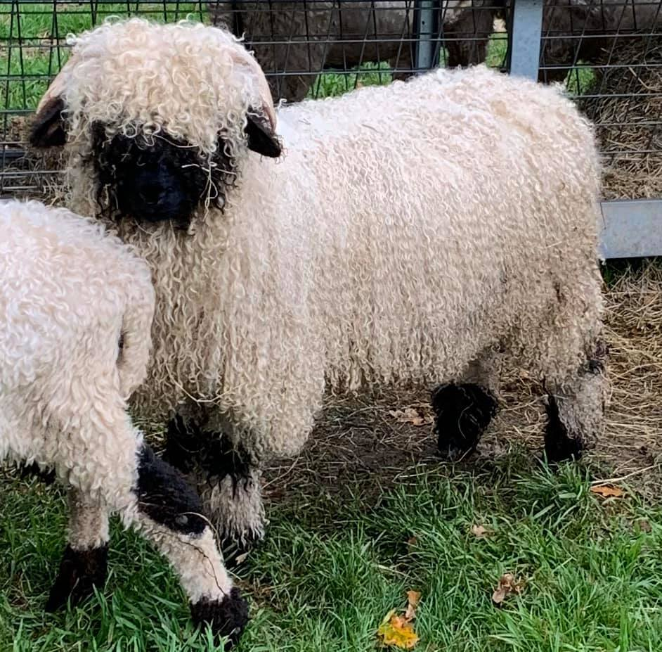 These are updated pictures of our Valais Blacknose intact Ram Lamb Gino