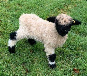 Valais Blacknose Sheep Semen For Sale
