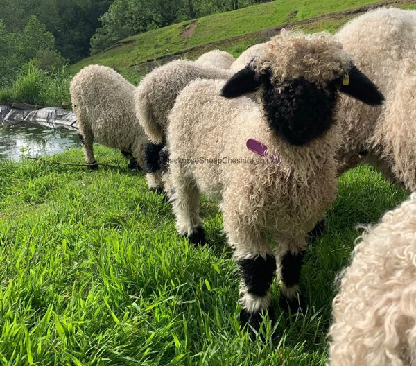The Valais Blacknose has a robust and large-framed physique